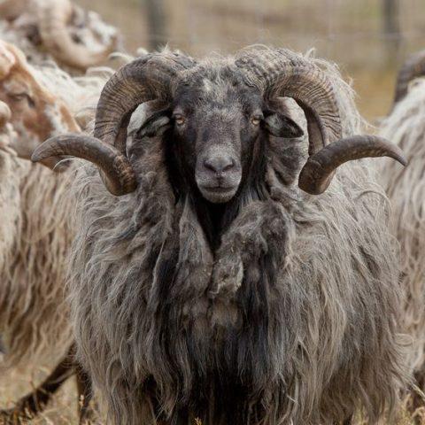 gevilte schapenvacht
