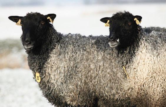 gotland schapenvacht